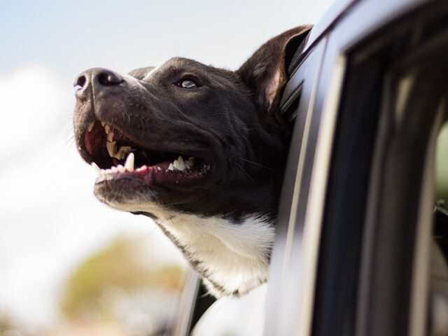 dog, happy, car ride
