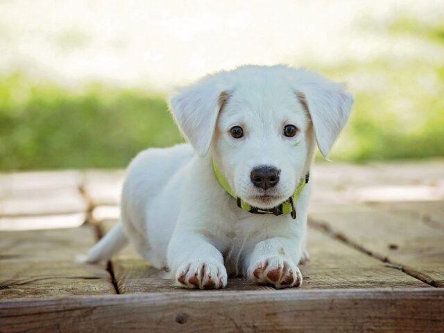 puppy, dog, pet